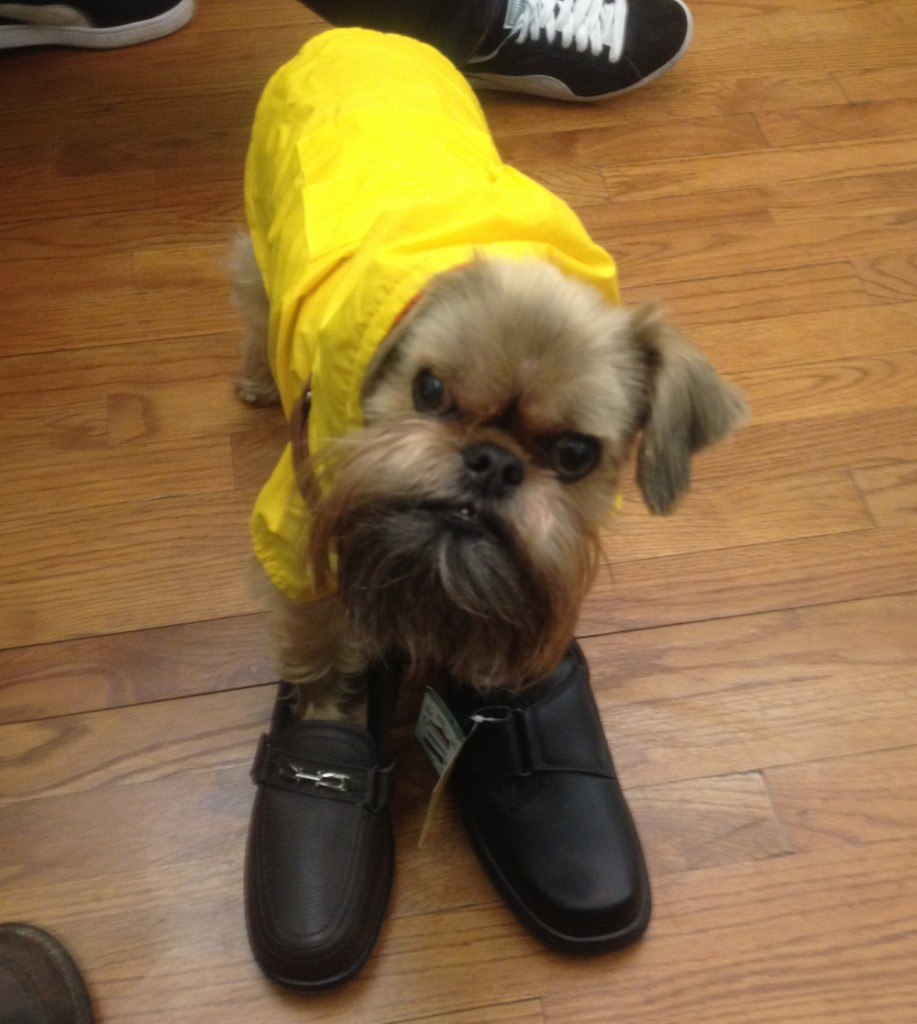 Dog wearing shoes